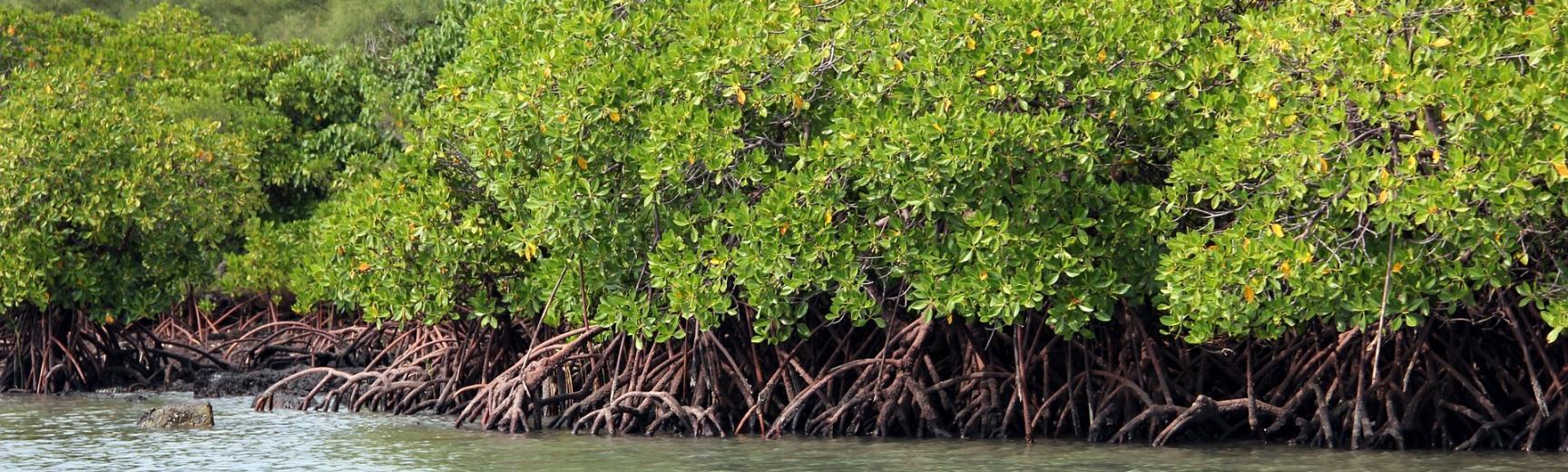 mangrove 798578