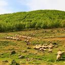 sheep 4246443