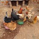 poultry farming 2738652