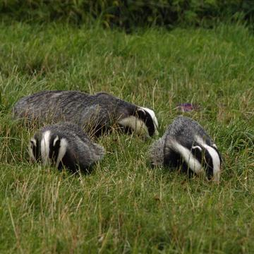 badgers 3790321