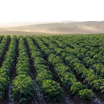 potato field 4357002
