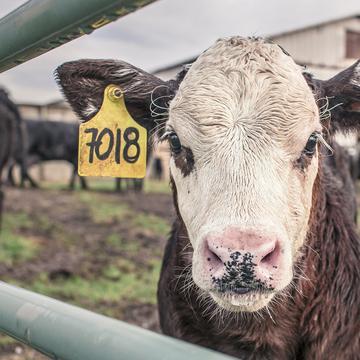calf 362170